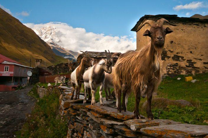 Goats on a Fence