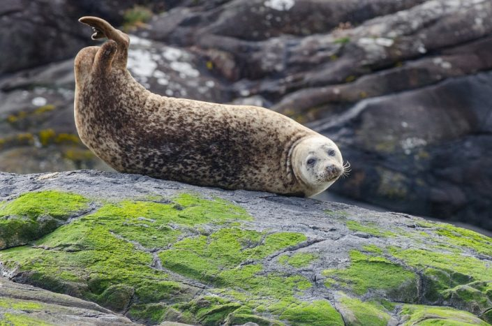 Seal Off the Isle of Skye