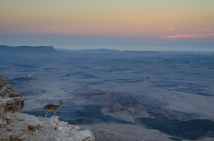 Ibex on the Cliff at Dawn
