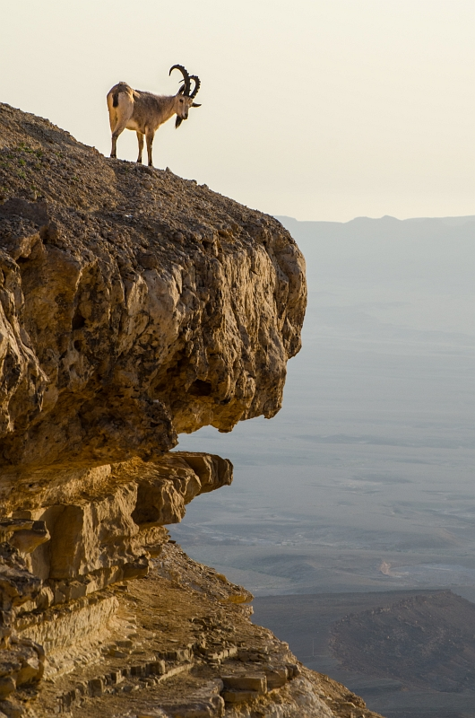 Ibex on an Overhanging Cliff