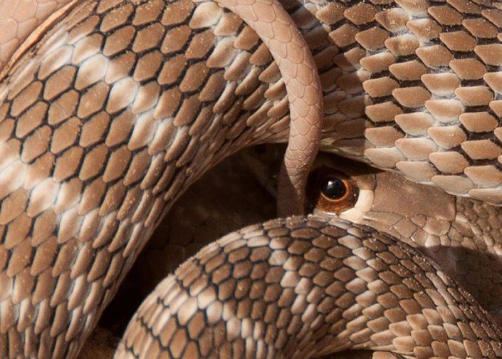 Snake Eye