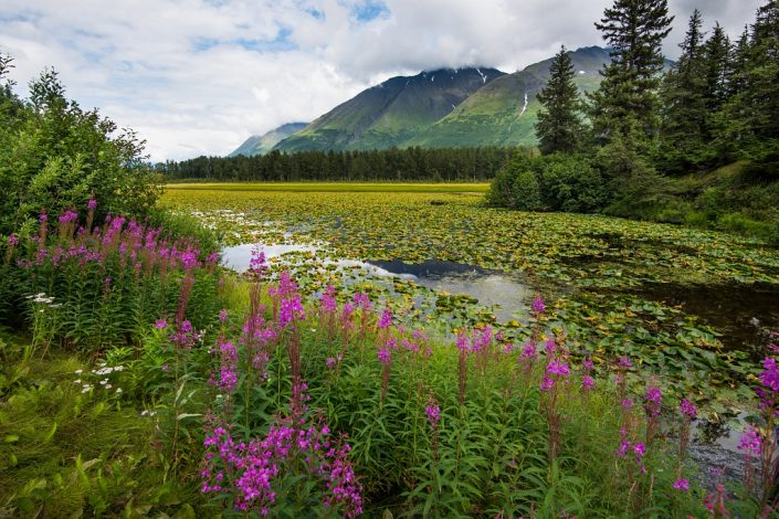 Fireweed and Water Lilies