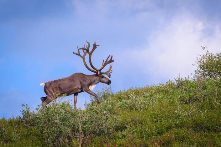Caribou on the Ridgeline