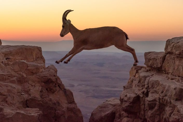 Ibex leaping from cliff to cliff at dawn
