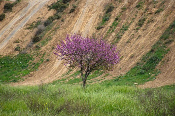 Judas Tree in Bloom