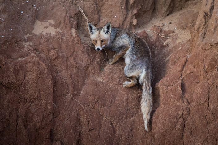 Fox on the Cliff