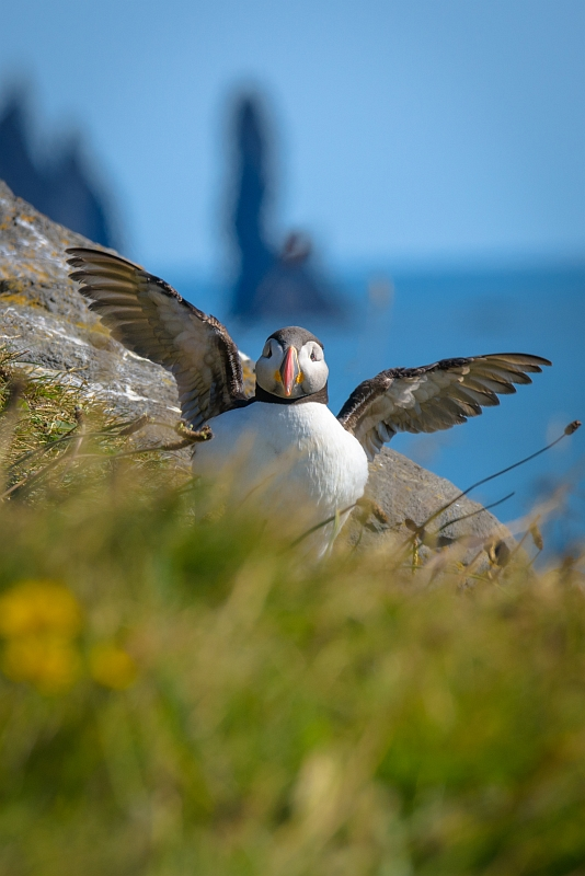 Puffin and Sea Stacks