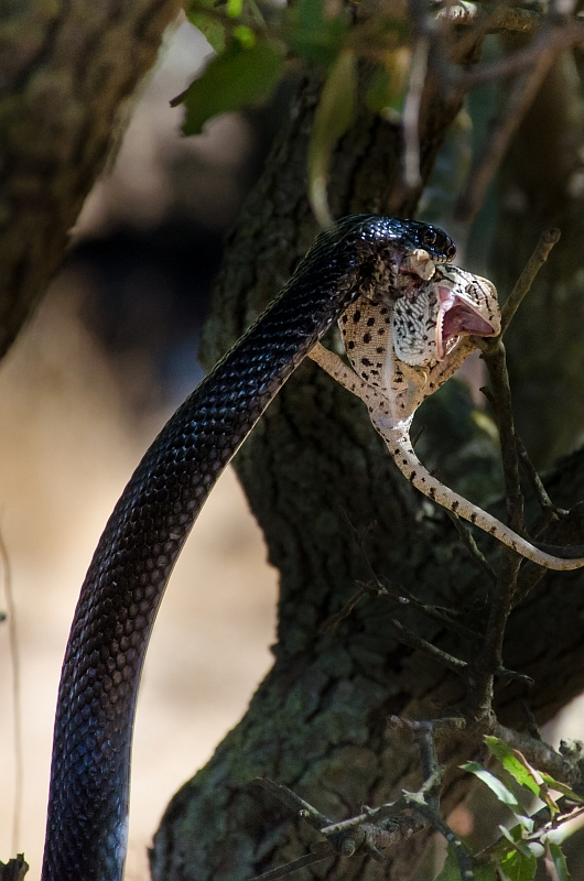 Black Whipsnake eating a chameleon