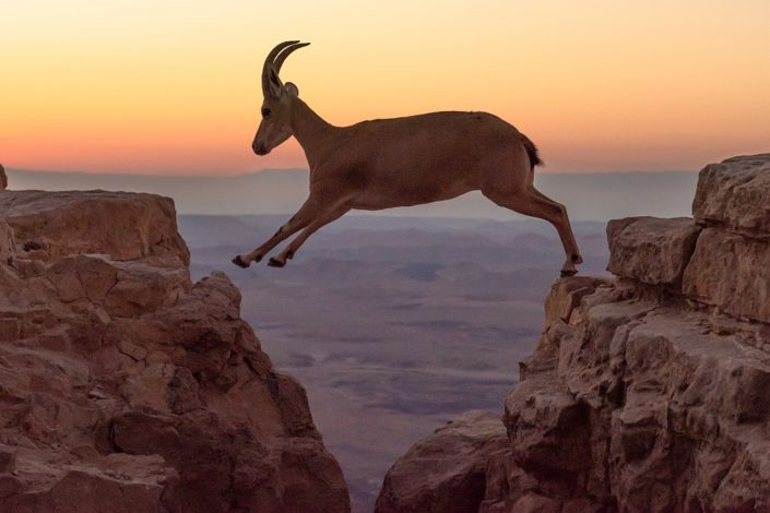 Leaping Ibex