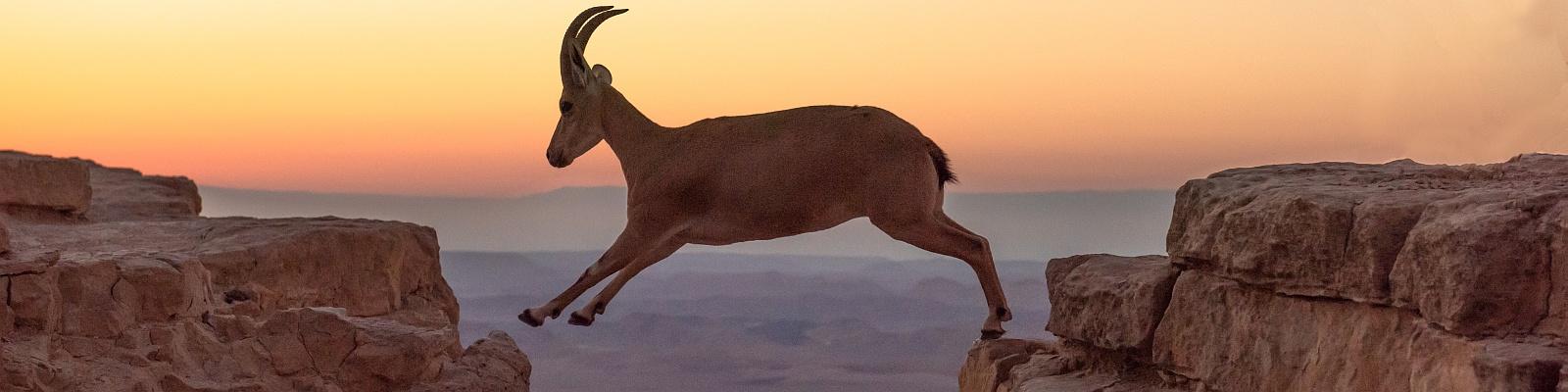 Leaping Ibex, Negev Desert