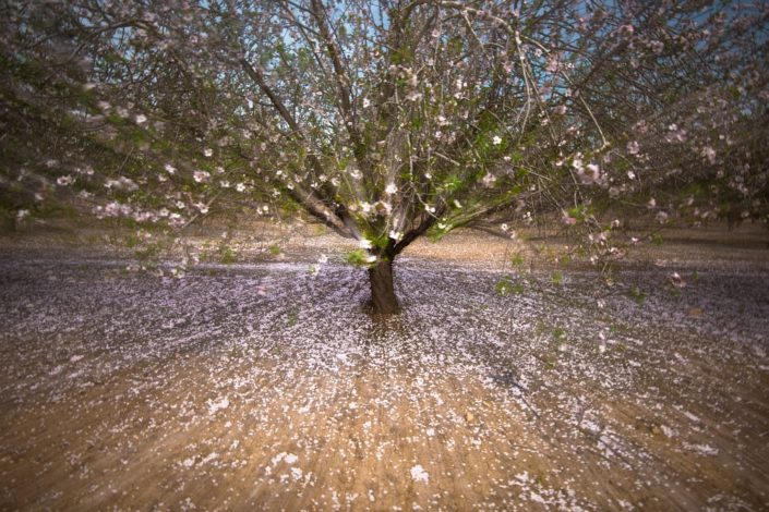Dreamy Almond Tree